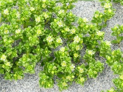 Close-up of Sea Sandwort plants colonising the beach sand at Dingieshowe Bay