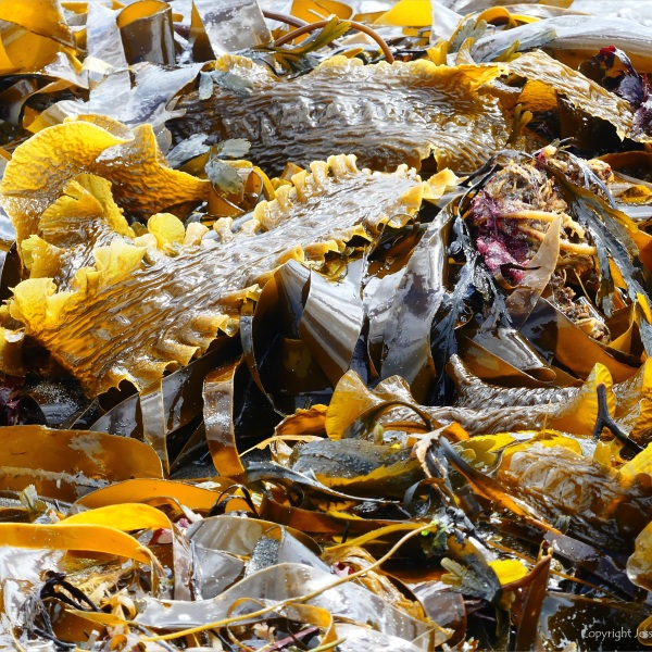 Close-up of kelp on the strandline at Dingieshowe Bay