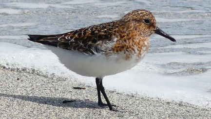 Is this a Sanderling in summer plummage?