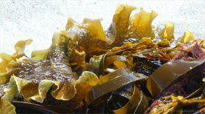 Close-up of kelp on the strandline at Dingieshowe Bay