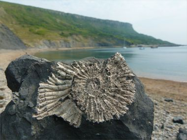 Chapmans Pool 2 Ammonite
