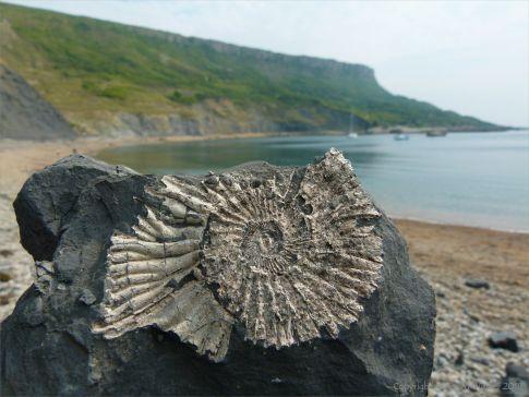 Chapmans Pool 2 Ammonite