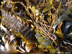 Seaweeds washed up on the shore at Kimmeridge Bay