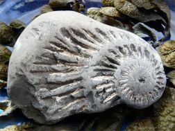 Chapmans Pool 22 Ammonite