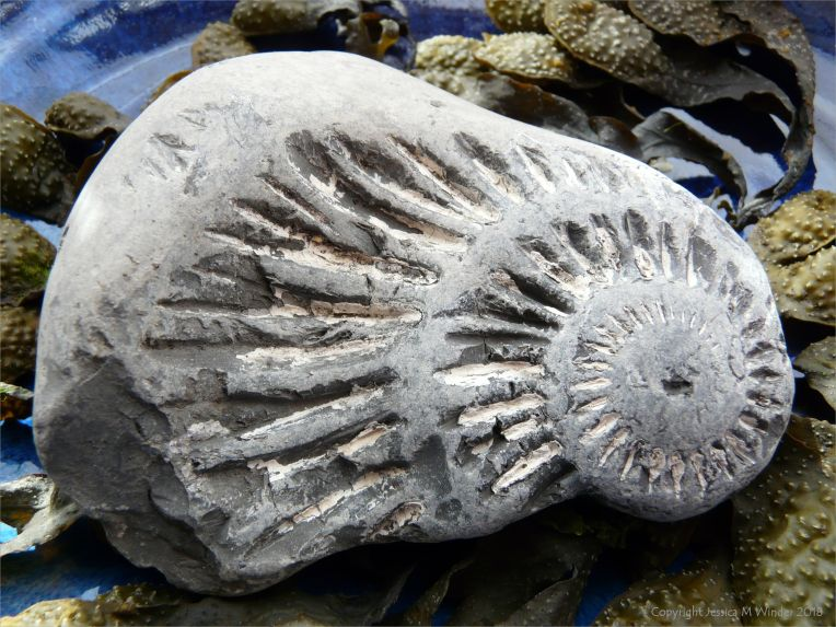 Chapmans Pool 22 Ammonite