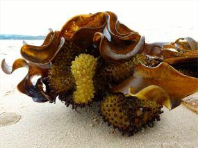 Furbelows kelp or seaweed washed ashore at Studland Beach