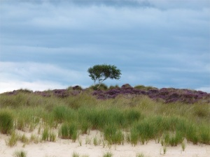 Sand dunes and heather behind Studland Beach