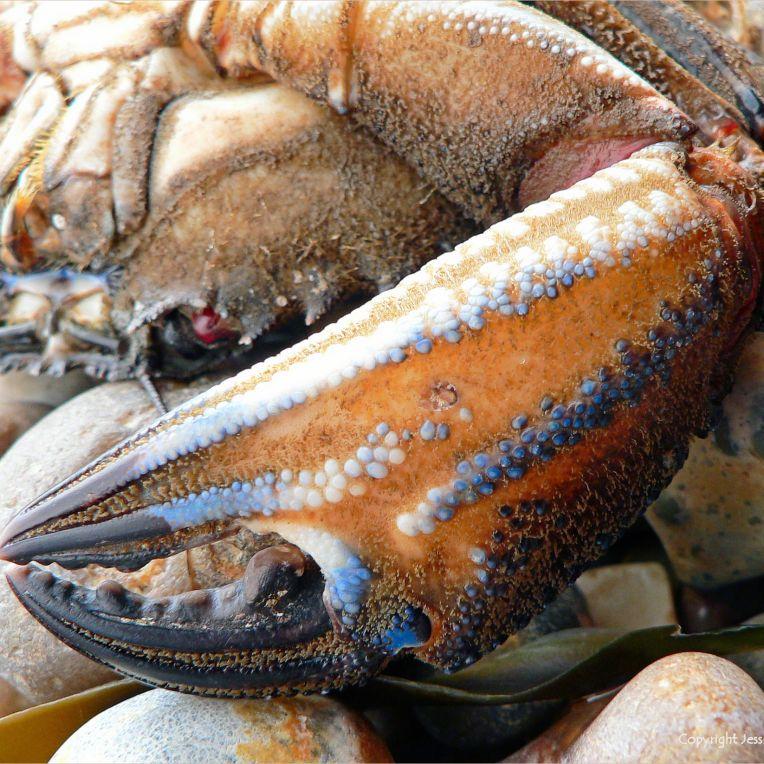 Ringstead Velvet Swimming Crab