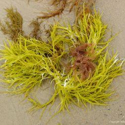 Brightly coloured seaweed washed up on Studland Beach
