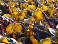 Kelp at low tide in Lyme Regis