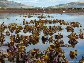 Kelp beds at low tide in Lyme Regis near Church Cliffs, Dorset, Jurassic Coast
