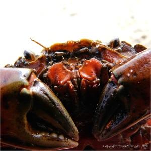 Close-up detail of a common shore crab at Studland