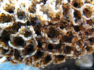 Sandgrain tubes of the honeycomb worm on the beach at Lyme Regis