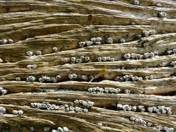 Weathered woodgrain with barnacles at Lyme Regis