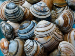Striped shells found on Studland Beach