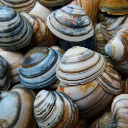 Striped shells found on Studland Beach