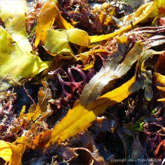 Assorted seaweeds washed ashore at Lyme Regis