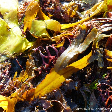 Assorted seaweeds washed ashore at Lyme Regis