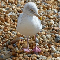 Seagull on a shingle beach