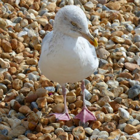 Seagull on a shingle beach