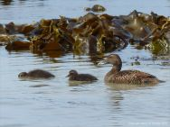 Eider duck and ducklings at Grit Ness in Orkney