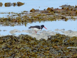 Oystercatcher at Grit Ness