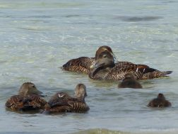 Ducks and ducklings at Grit Ness in Orkney