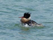Red breasted merganser at Grit Ness in Orkney