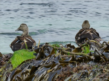 Ducks at Grit Ness in Orkney