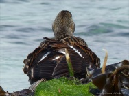 Duck on the old stone pier at Grit Ness in Orkney