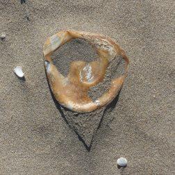 Oyster shell on dry beach sand