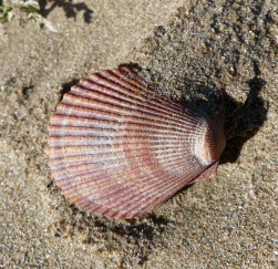 Pink scallop shell on sand