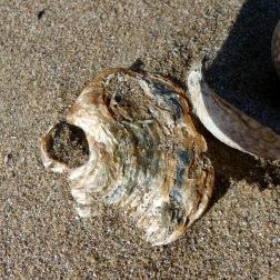 Saddle oyster shell on the strandline