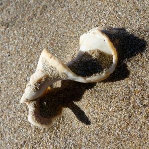 Broken whelk shell on the strandline