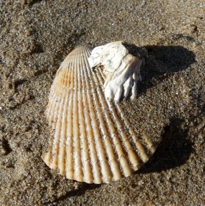 Small scallop shell with barnacle attached on beach sand