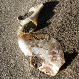 Saddle oyster shell and broken whelk
