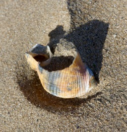 Broken whelk shell stained orange and black from burial in beach sediments