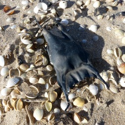 Black dry mermaid's purse with seashells on the strandline