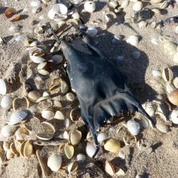 Black dry mermaid's purse with seashells on the strandline