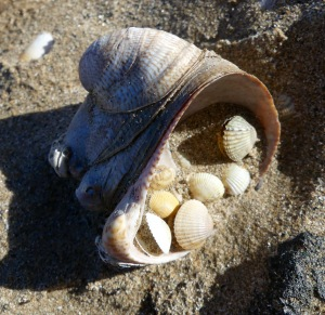 Slipper limpet shell cluster with baby cockle shells on the strandline