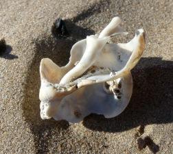 Broken whelk shell