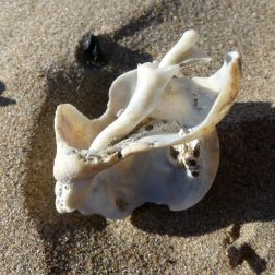 Broken whelk shell