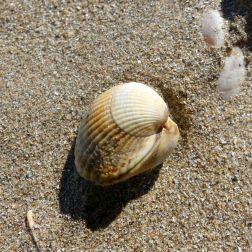 Cockle shells on dry beach sand