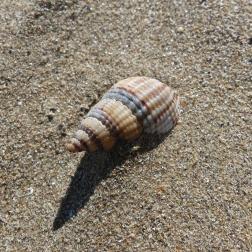 Netted whelk she'll on dry sand
