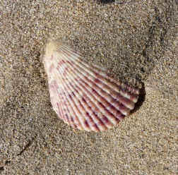 Small pink scallop shell on dry beach sand