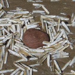 Pharus legumen shells around a beach stone