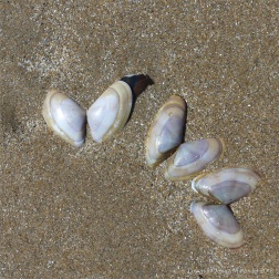 Banded wedge shells