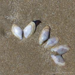 Banded wedge shells