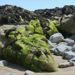 Algae-covered seaside rocks