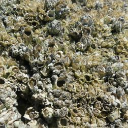 Successive generations of barnacles on rocks